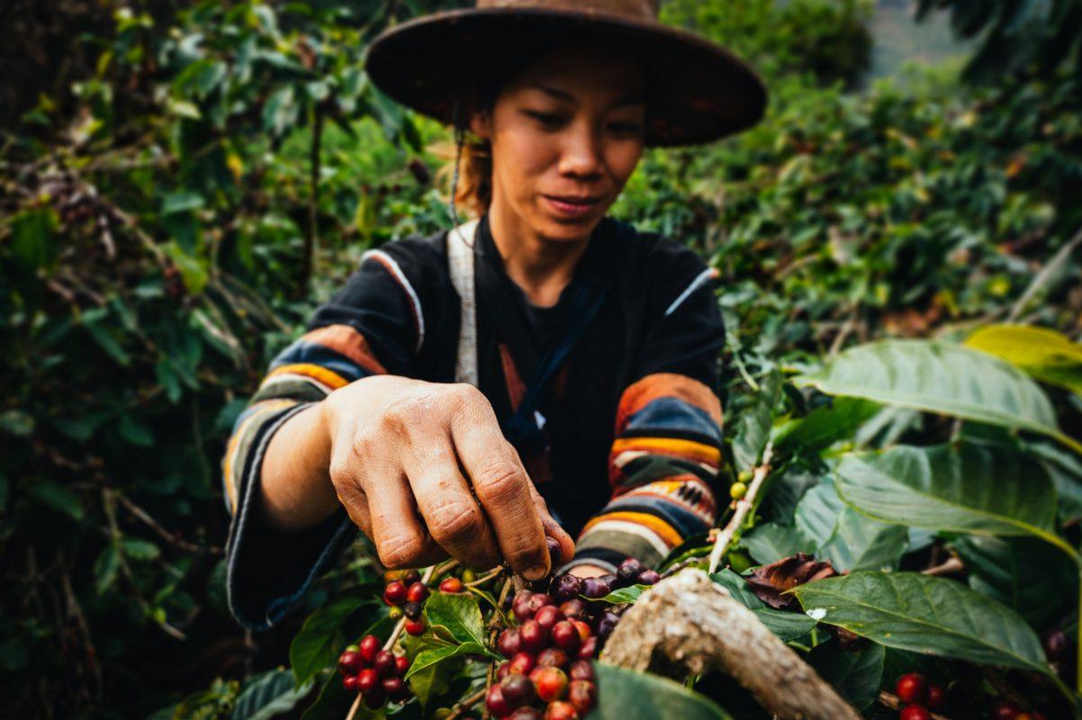 Frau beim Ernten von Kaffeekirschen.